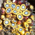 Cross Section of Oil Palm Fresh Fruit Bunch