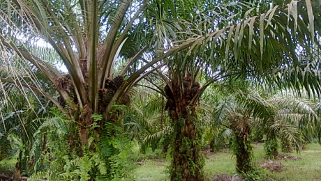 Oil Palm Estate