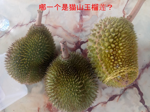 Which on is Musang King